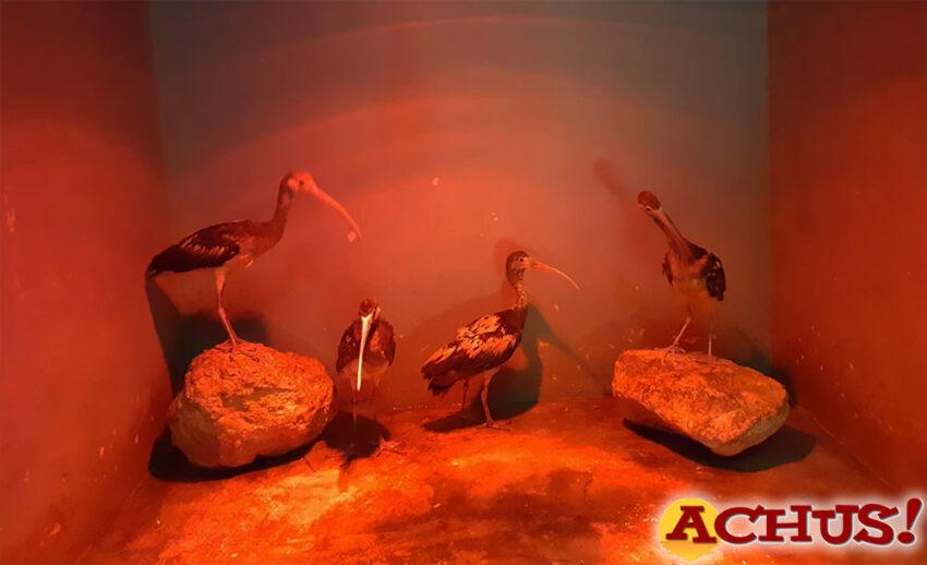 El aviario de Terra Natura Benidorm incrementa su familia con nuevas parejas de Ibis Escarlata y de Suirirí Cariblanco