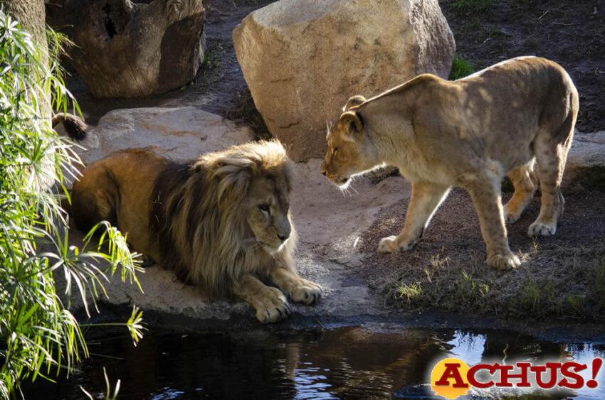 Lubango, el león macho de Bioparc Valencia, consolida su adaptación con Shanga, la hembra más joven de la manada