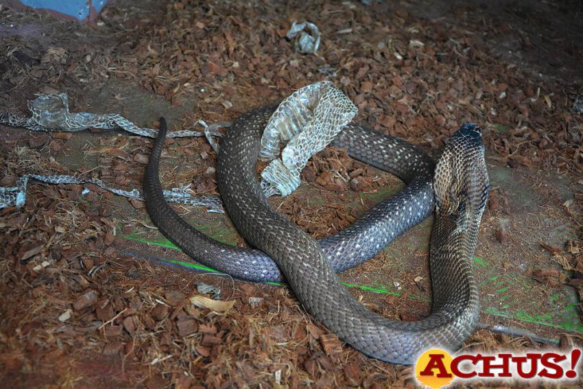 Terra Natura Benidorm amplía su familia de reptiles con la llegada de una cobra de monóculo