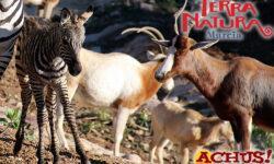 Una cebra primer nacimiento del año en Terra Natura Murcia