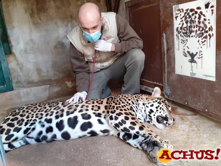 Los veterinarios de Terra Natura Benidorm practican una revisión completa a una hembra de jaguar para descartar alteraciones