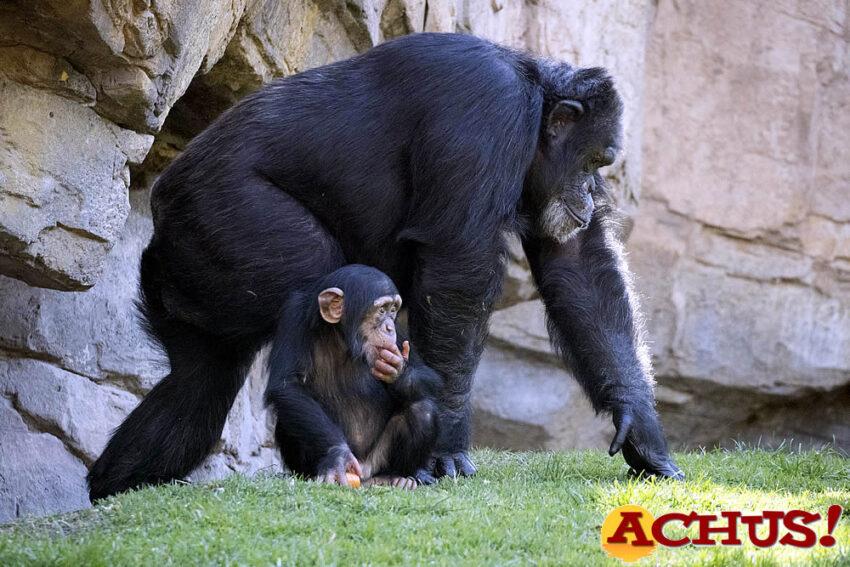 """Djibril, el bebé chimpancé """"adoptado"""" de Bioparc,  cumple 2 años"""