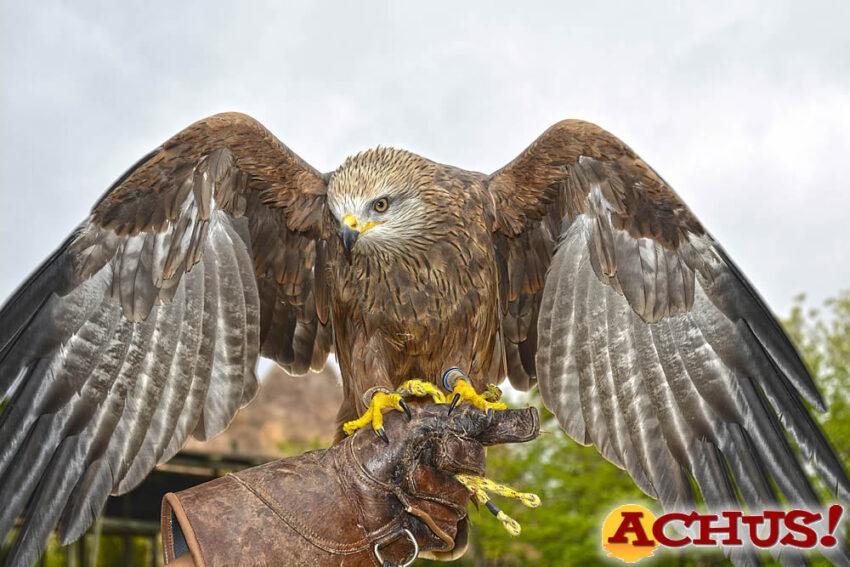 Dos halcones de Harris y un milano negro se incorporan a las demostraciones educativas de rapaces de Terra Natura Benidorm