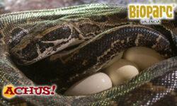 """Impresionante puesta de huevos """"en directo"""" de la Pitón de Seba en Bioparc Valencia, la serpiente más grande de África"""