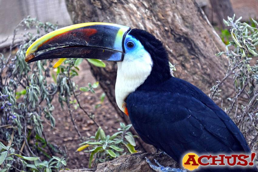 Terra Natura Benidorm recibe un tucán pechiblanco dentro de un programa de reproducción de esta especie vulnerable