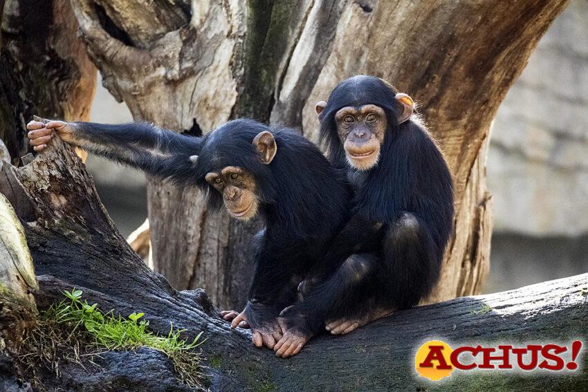 los chimpancés Coco y Djibril