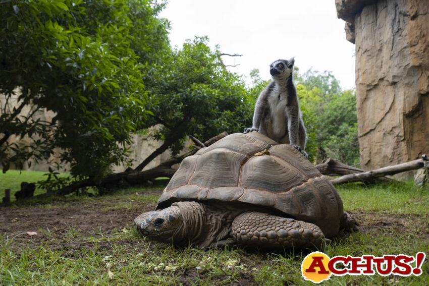 Tortugas gigantes de Aldabra en Bioparc Valencia