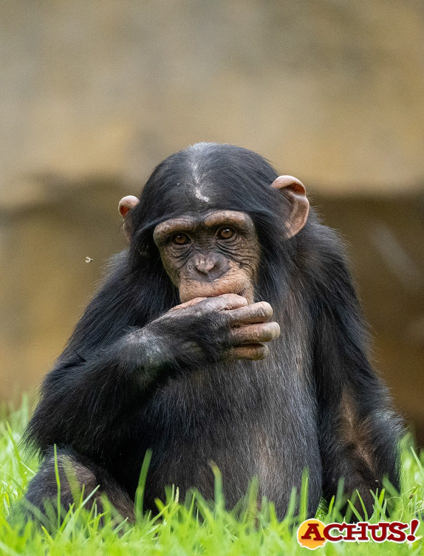 Hoy se conmemora el Día del Chimpancé y Bioparc Valencia lo celebra con el tercer cumpleaños de Coco