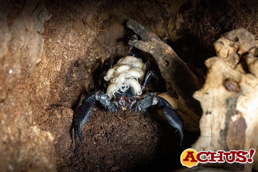Nacimiento del escorpión más grande del mundo  en Bioparc Valencia