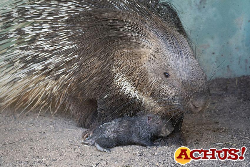 Por primera vez nace un Puercoespín sudafricano en Bioparc Valencia