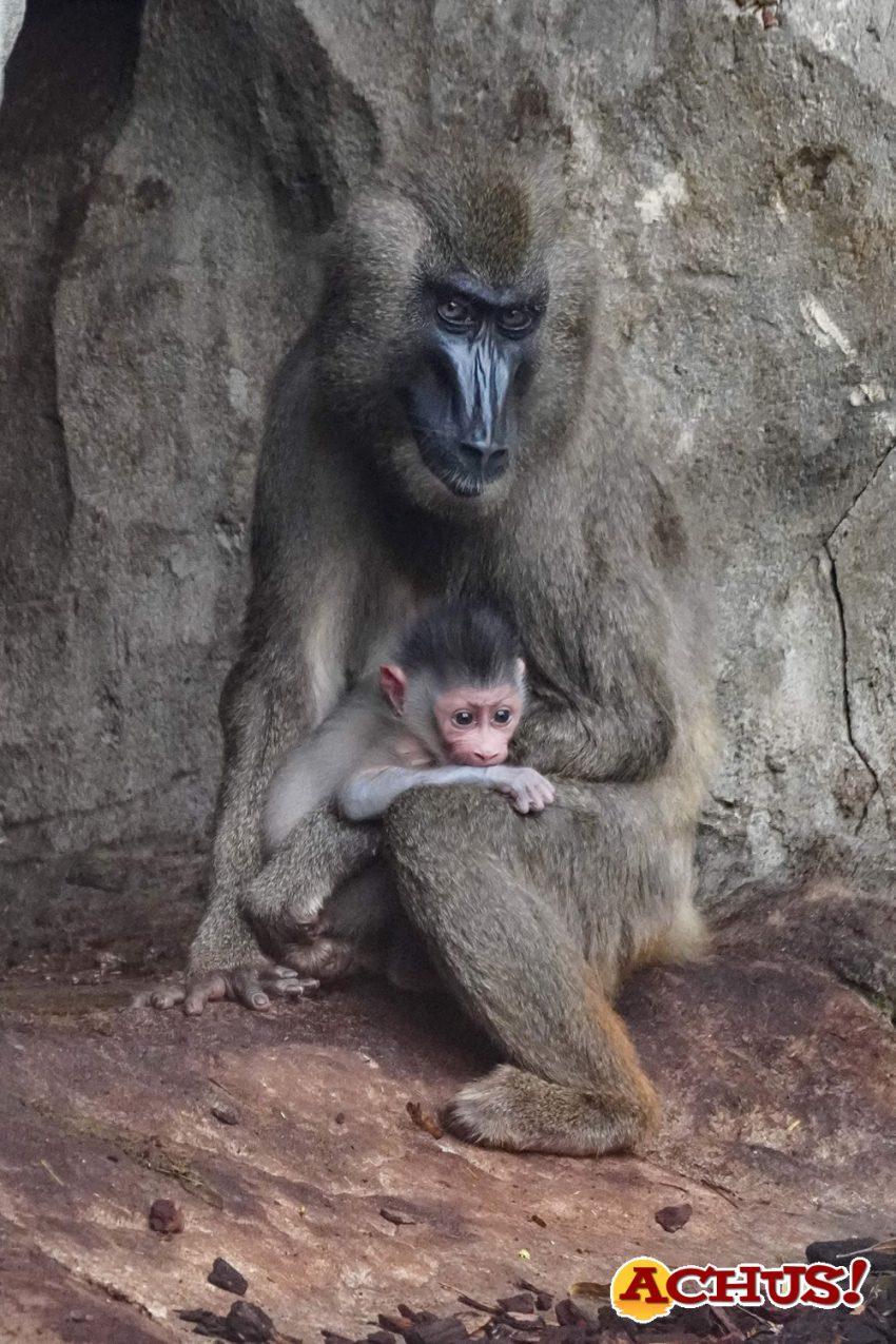 Nace en Bioparc Valencia uno de los primates más amenazados de África