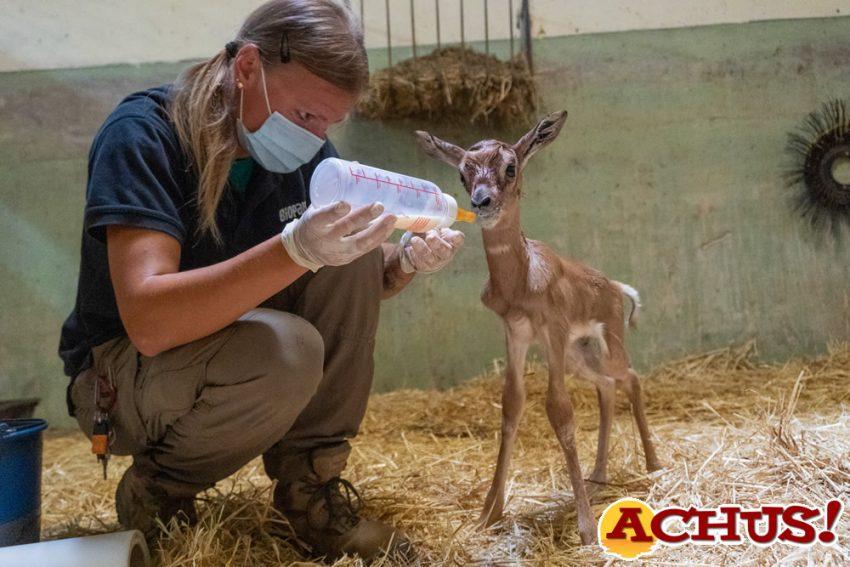 Los cuidadores de Bioparc Valencia salvan a una cría de una especie de gacela en peligro crítico de extinción