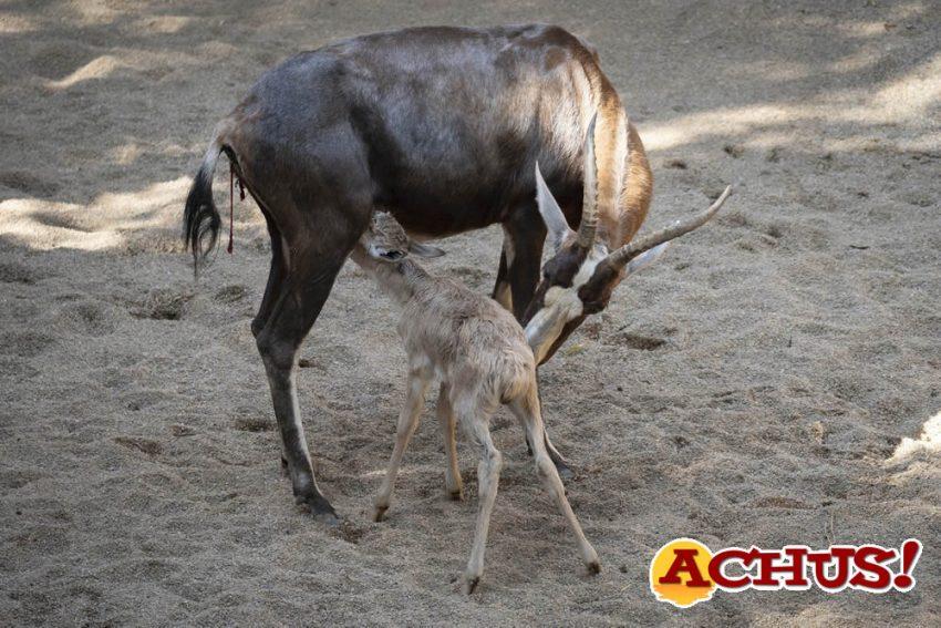 Blesbok recién nacido