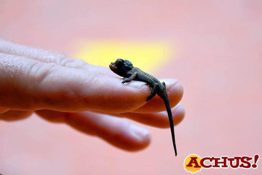 Nacen 10 crías de camaleón de Jackson en Terra Natura Benidorm