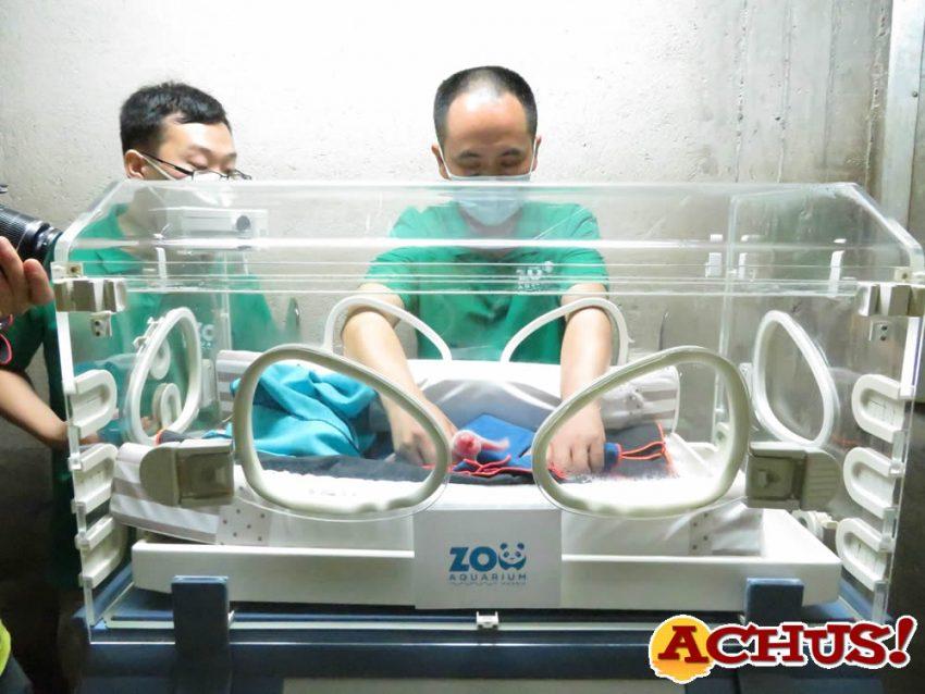 El chequeo neonatal de los gemelos de panda españoles confirma su buen estado de salud.