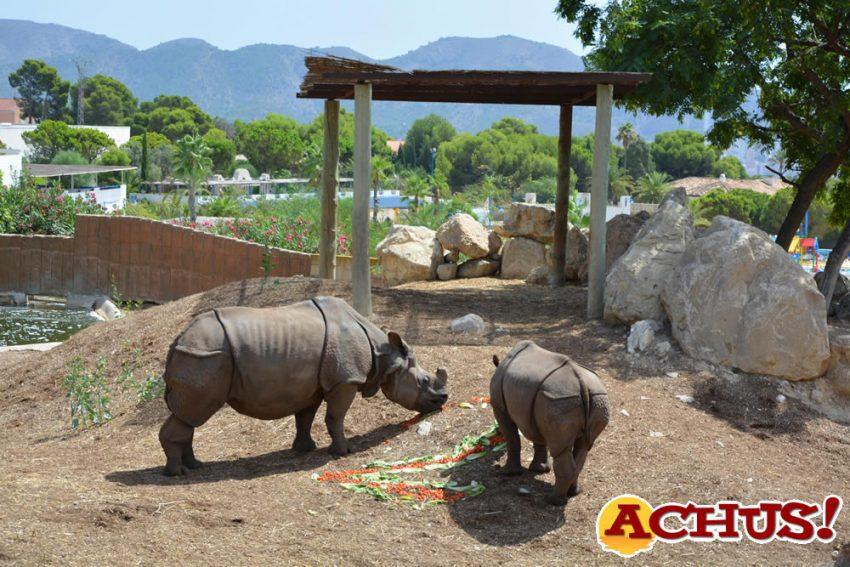 La pequeña rinoceronte Duna celebra su segundo cumpleaños en Terra Natura Benidorm