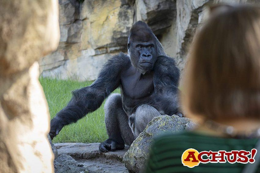 una visitante observando al gorila Kabuli