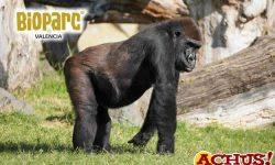 Doble celebración de cumpleaños de los gorilas de Bioparc Valencia