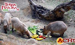 Terra Natura Benidorm recibe a dos hembras de capibara para formar un grupo de esta especie